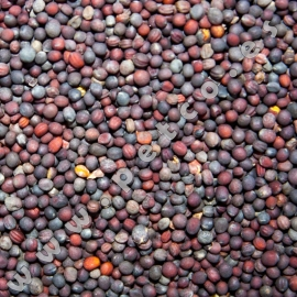 Red Rapeseed